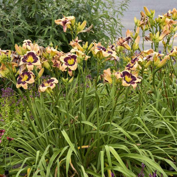 Hemerocallis 'Inkheart' Daylily