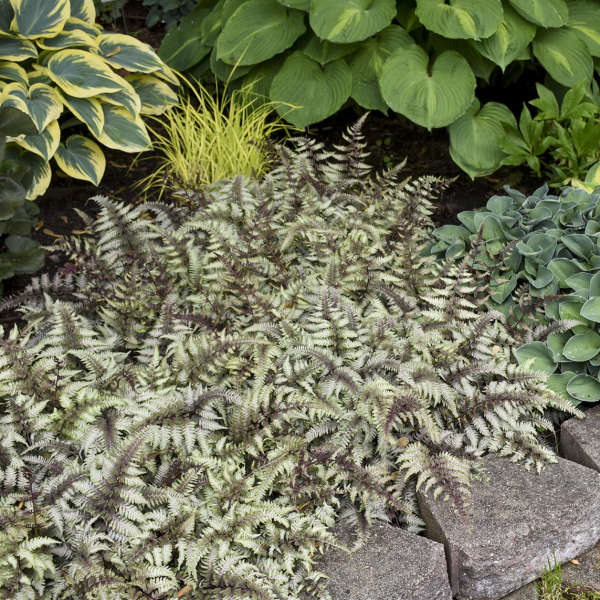 Athyrium 'Pictum' Japanese Painted Fern