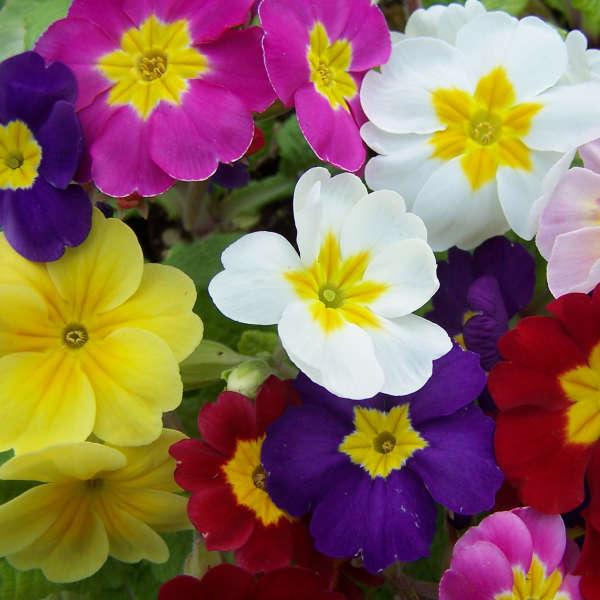 Primula 'Pacific Hybrids' English Primrose