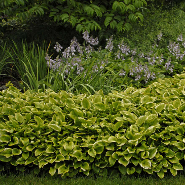 Hosta 'Golden Tiara' Hosta
