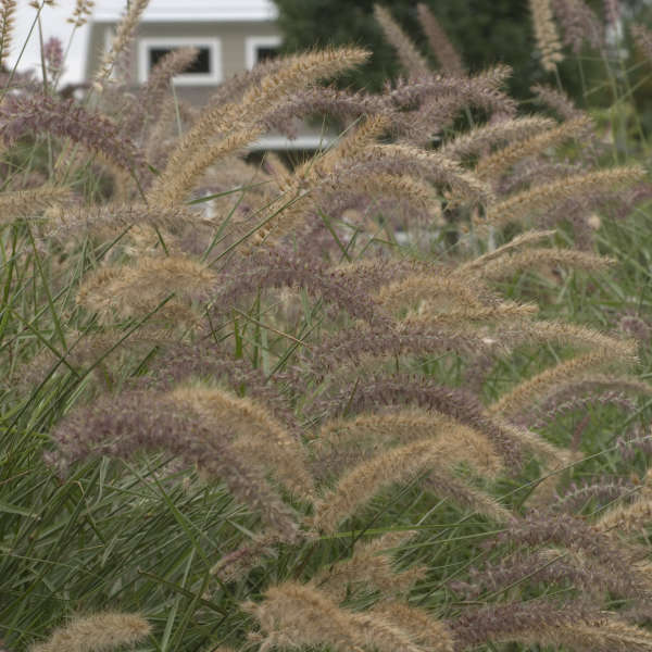 Pennisetum 'Karley Rose' Oriental Fountain Grass