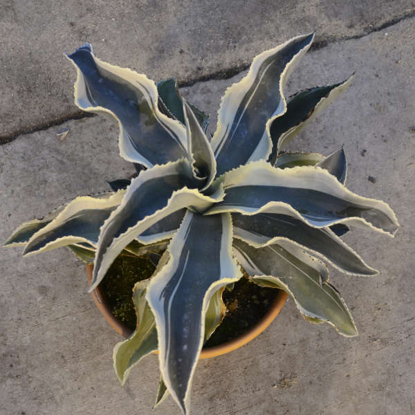 Agave 'Ivory Curls' Gypsum Century Plant