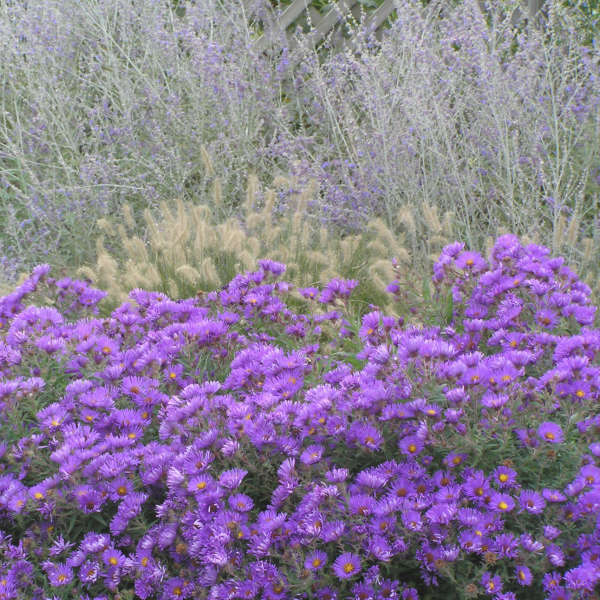 Aster 'Purple Dome' New England Aster