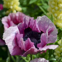 Papaver 'Plum Pudding'