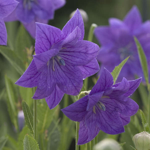Platycodon 'Double Blue' Balloon Flower