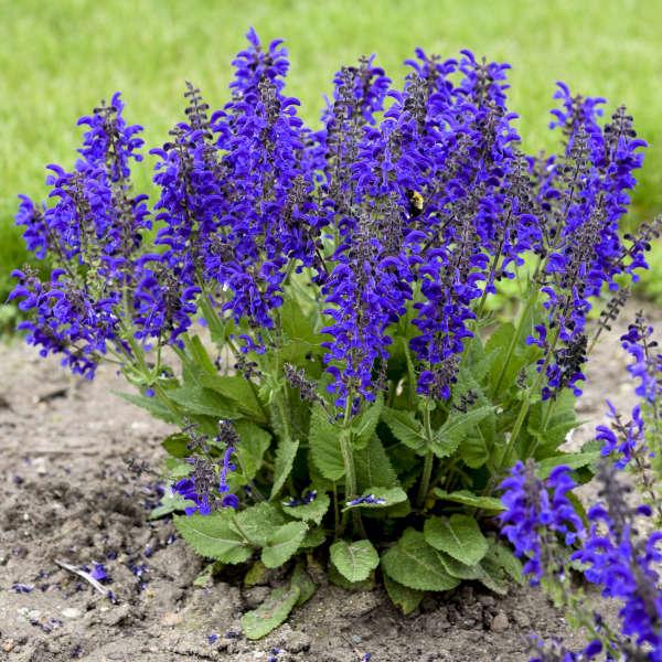 Salvia 'Evening Attire' Perennial Salvia