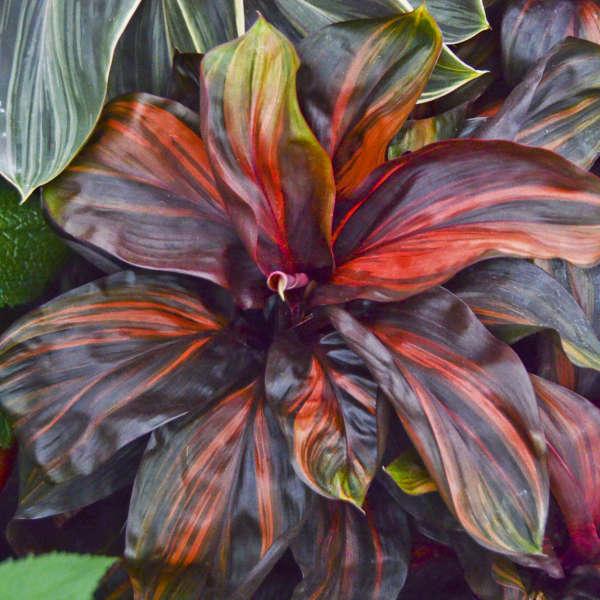 Cordyline 'Cherry Cordial' Ti Plant
