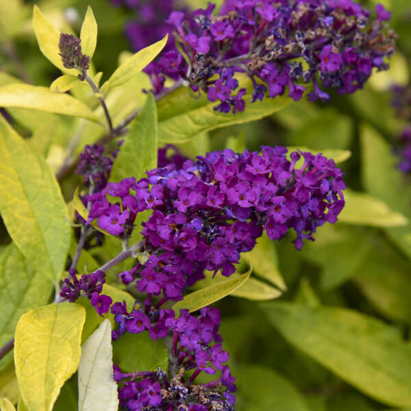 Buddleia 'Gold Drop' Butterfly Bush