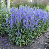 Veronica 'Blue Skywalker'