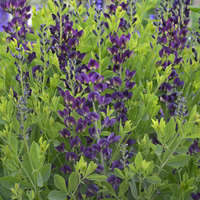 Baptisia 'Grape Taffy'