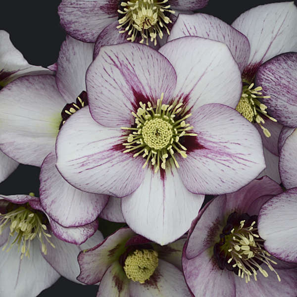 Helleborus 'French Kiss' Lenten Rose