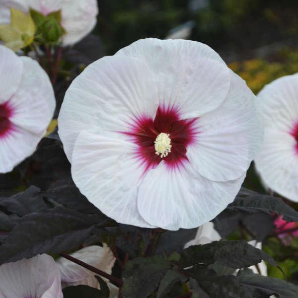 Hibiscus Mocha Moon Pp27837 Walters Gardens Inc