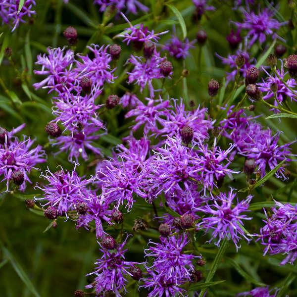 Vernonia 'Southern Cross' Ironweed