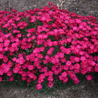 Dianthus 'Paint the Town Red'