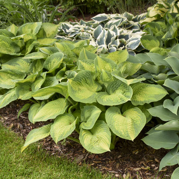 Hosta 'Brother Stefan' Hosta
