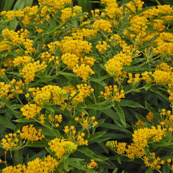 Asclepias 'Hello Yellow' Butterfly Weed