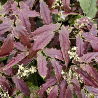 Epimedium 'Sandy Claws'