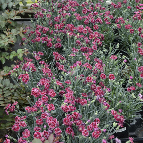 Dianthus 'Black Cherry Frost' Pinks