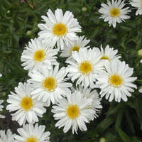 Leucanthemum 'Highland White Dream'