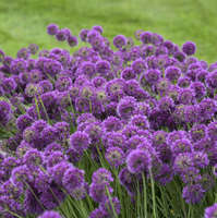 Allium 'Lavender Bubbles'