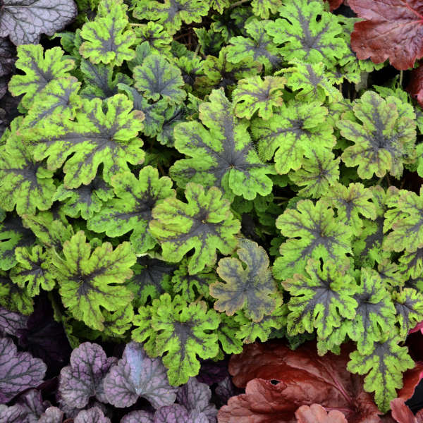 Tiarella 'Fingerpaint' Foamflower