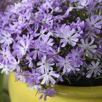 Phlox 'Bedazzled Lavender'