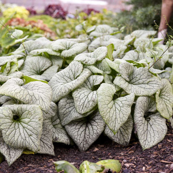 Brunnera 'Sterling Silver' Heartleaf Brunnera