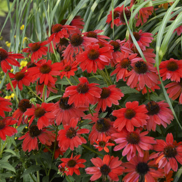 Echinacea SOMBRERO&#174 SALSA RED Coneflower