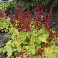 Heuchera 'Appletini'