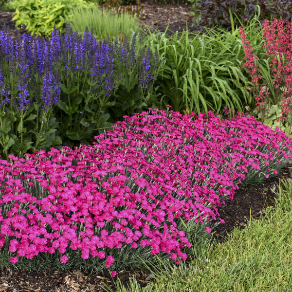Dianthus 'Paint the Town Magenta' Pinks