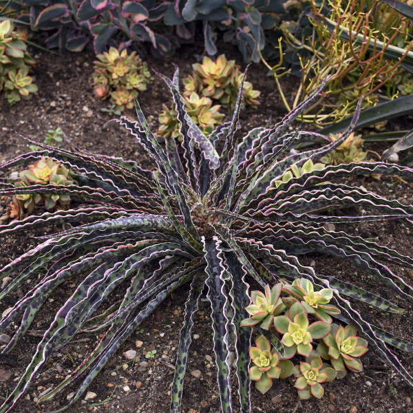 Manfreda 'Cherry Chocolate Chip' Perennial Deciduous Agave