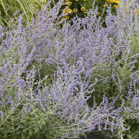 Perovskia atriplicifolia