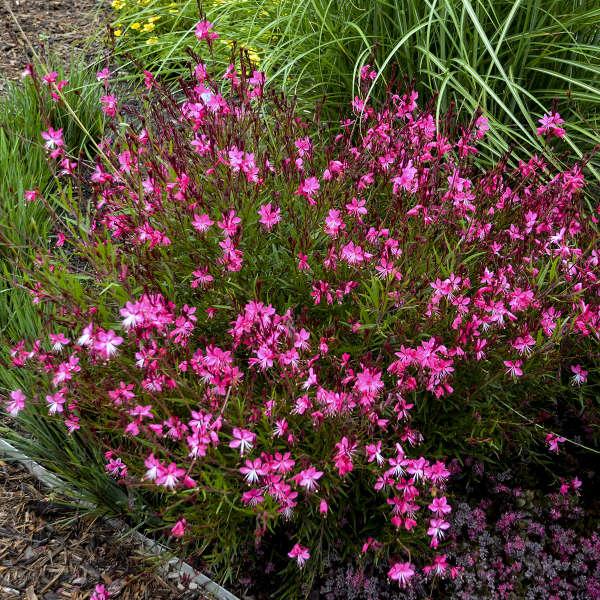 Gaura lindheimeri belleza dark pink kleau04263 cpbr2860 download images mightylinksfo
