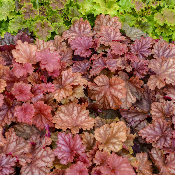 Heuchera 'Peachberry Ice' Coral Bells