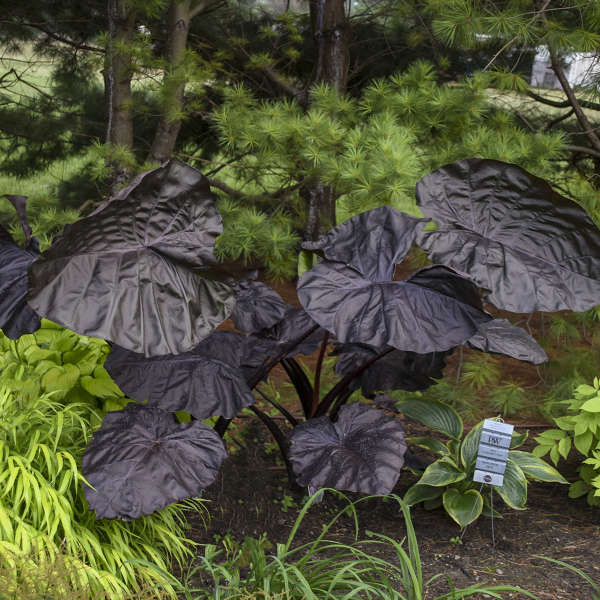 Colocasia 'Black Swan' Elephant Ear