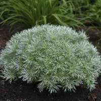 Artemisia 'Silver Mound'