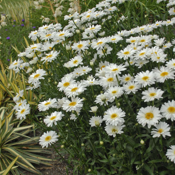 Leucanthemum 'Highland White Dream' Shasta Daisy