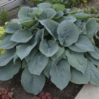 Hosta 'Blueberry Muffin'