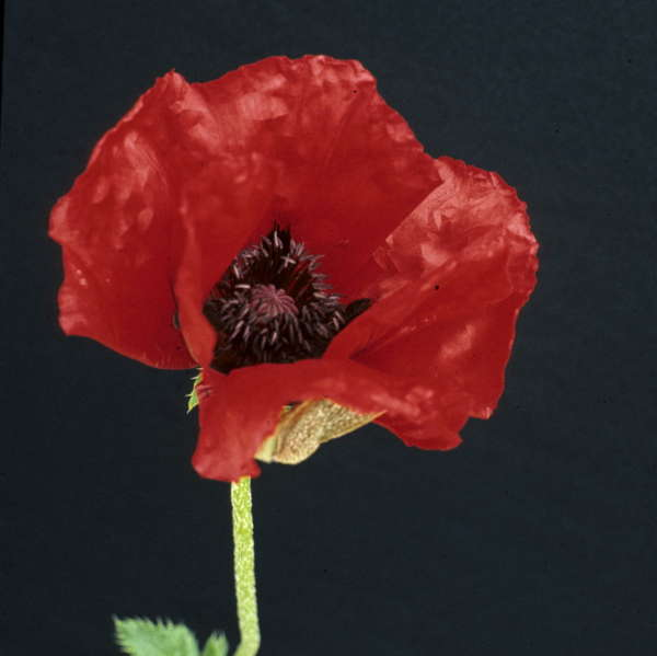 Papaver 'Beauty of Livermere' Oriental Poppy