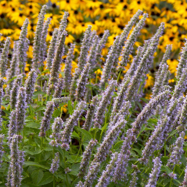 Agastache 'Blue Fortune' Anise Hyssop