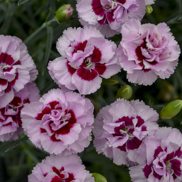 Dianthus 'Kiss and Tell' Pinks