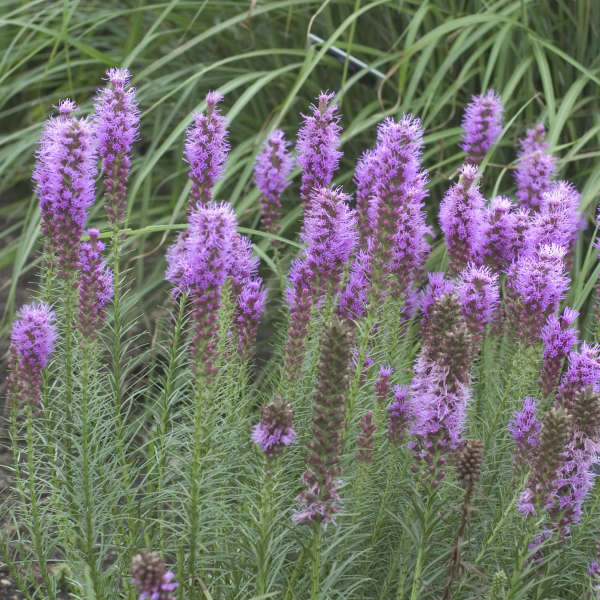 Liatris 'Floristan Violet' Gayfeather