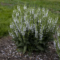 Salvia 'White Profusion'