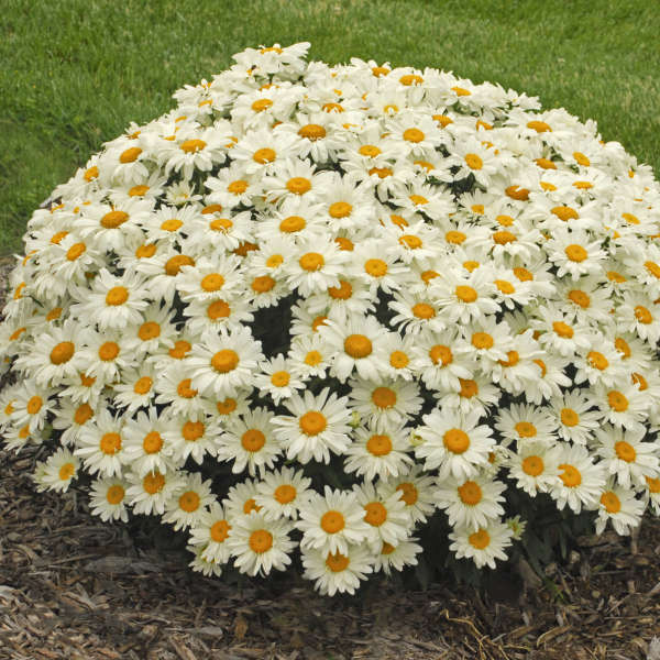 Leucanthemum 'Whoops-a-Daisy' Shasta Daisy