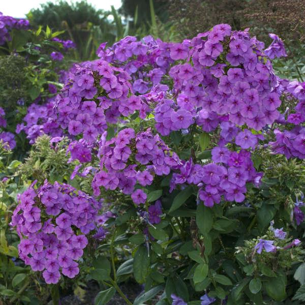 Phlox FLAME™ Series Purple Tall Garden Phlox