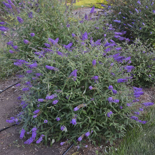 Buddleia 'Blue Knight' Butterfly Bush