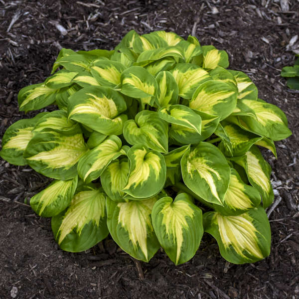 Hosta 'Etched Glass' Hosta