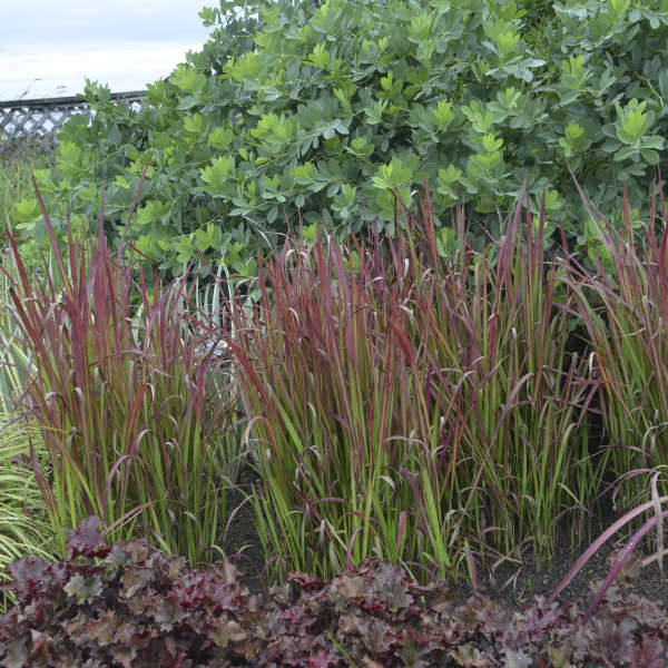 Imperata cylindrica 39 red baron 39 perennial resource for Japanese ornamental grass varieties