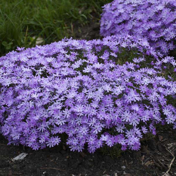 Phlox 'Bedazzled Lavender' Hybrid Spring Phlox