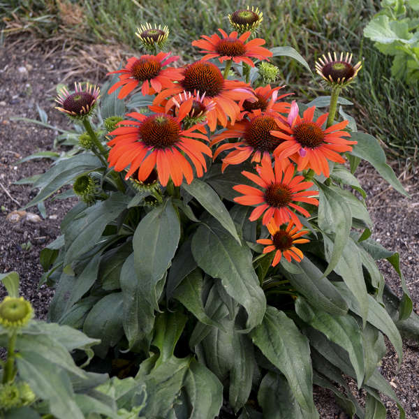 Echinacea 'Atomic Orange' Coneflower